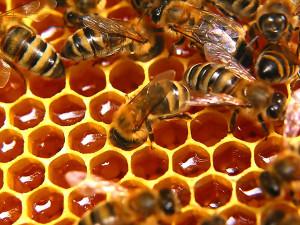 Пчелы на сотах фото