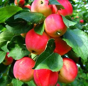 Варенье из яблочек на зиму